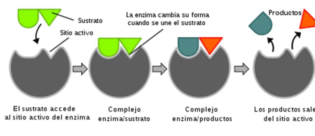 Las enzimas y la importancia de su consumo